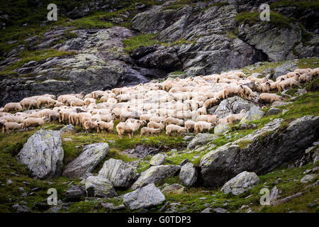 Flock of sheep in the mountains, green grass and grey stones, wall of rocks is in the background and several stones - Stock Image