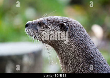 Asian short claw Otter profile - Stock Image