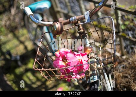 Pink flowers in a rusty bicycle basket, at the Oregon Garden in Silverton, Oregon, USA. - Stock Image