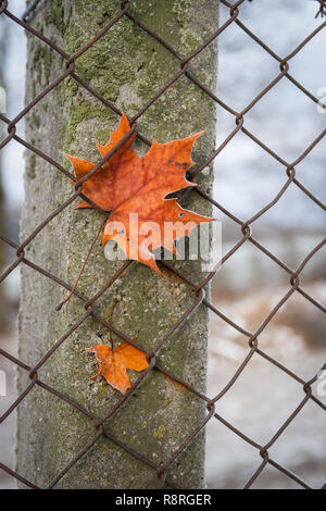 Maple Leaf In The Fence - Stock Image