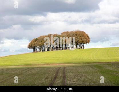 Beech copse on chalk scarp slope landscape on Ridgeway, west of Hackpen Hill, Broad Hinton, Wiltshire, England, UK - Stock Image