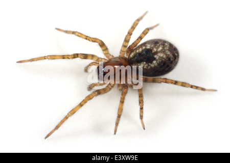 Window lace-weaver (Amaurobius fenestralis) spider, part of the family Amaurobiidae -  Tangled nest spiders. - Stock Image