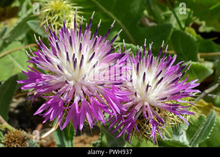 Centaurea seridis is a flowering plant found in the Eastern Mediterranean. - Stock Image