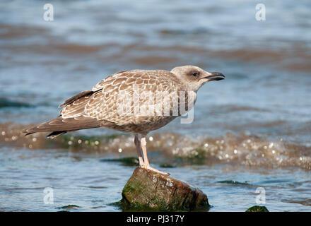 juvenile European Herring Gull, Larus argentatus, calling to parent bird, Whitby coast, United Kingdom - Stock Image