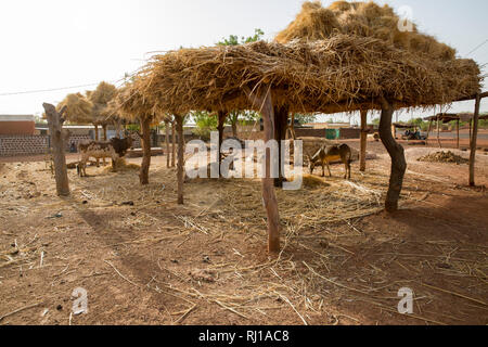 Yako town, Burkina Faso; a donkey and cows eat fodder in the shade of a farmers open air hay store. - Stock Image
