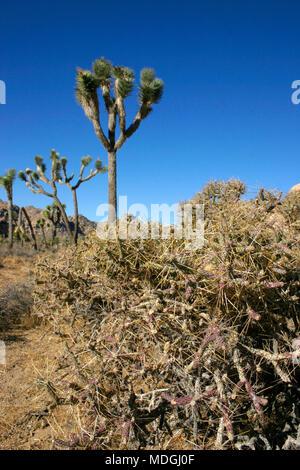 Joshua Tree Landscape Yucca Brevifolia Mojave Desert Joshua Tree National Park California - Stock Image