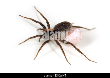 Possibly a female Burnt wolf-spider (Xerolycosa nemoralis), part of the family Lycosidae - Wolf spiders. Carrying - Stock Image