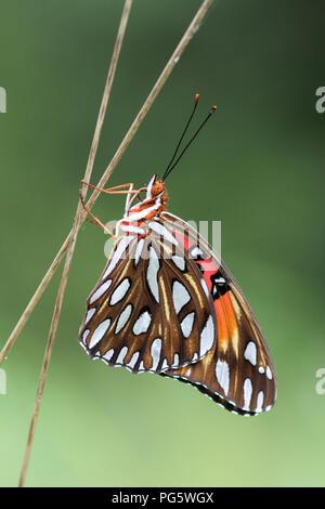 A newly emerged gulf fritillary butterfly. - Stock Image