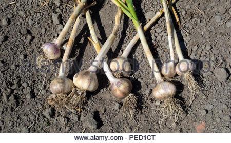 Allium sativum - garlic crop - Stock Image