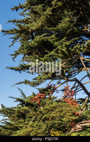 Dead branches on a Monterey Cyprus tree produce a vivid orange/brown colour against the dark green foliage. - Stock Image