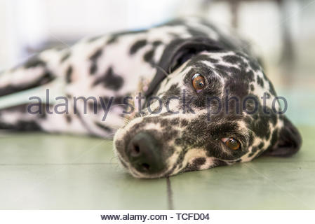 Dalmatian female pet dog in a house or home living alongside with a Cuban family. - Stock Image