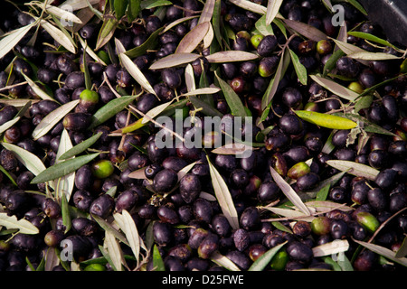 Olives after being harvested from the trees - Stock Image