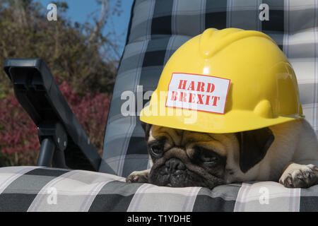 Mousehole, Cornwall, UK. 29th Mar, 2019. Brexit. Brext day comes and goes, and Brexit boredom sets in in Cornwall, as Titan the pug has just had enough. Credit: Simon Maycock/Alamy Live News - Stock Image