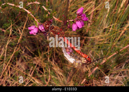 Common darter dragonfly (Sympetrum striolatum), mating pair on heathland, UK. - Stock Image