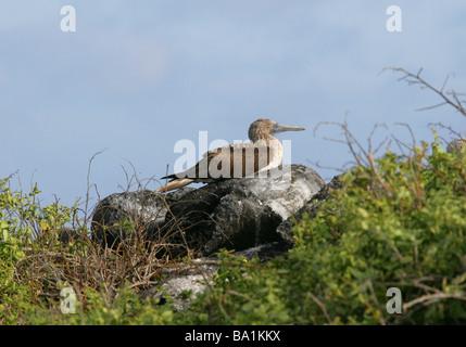 Blue-footed Booby, Sula nebouxii, Sulidae, Espanola Island, Galapagos Archipelago, Ecuador, South America - Stock Image