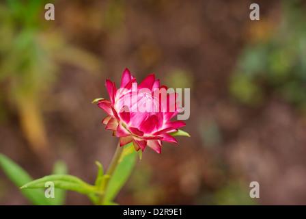 Everlasting Flower / Strawflower - Xerochrysum bracteatum Coco, syn Helichrysum bracteatum, syn Bracteantha bracteata - Stock Image