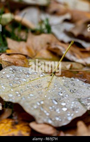 raindrops on fallen yellow leaves in autumn park - Stock Image