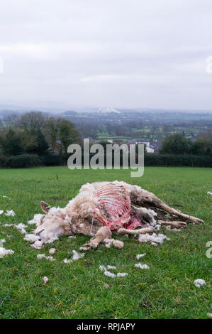 Dead sheep carcass in a farm field. - Stock Image