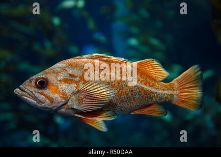 Orange Vermilion Rockfish Pacific ocean fish in kelp forest of the North American coast - Stock Image