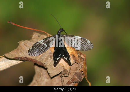 Portrait of an adult fishfly. - Stock Image