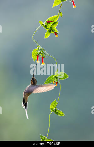 A Scale-throated Hermit (Phaethornis eurynome) visiting a native creeper flower from the Atlantic Rainforest of SE Brazil - Stock Image
