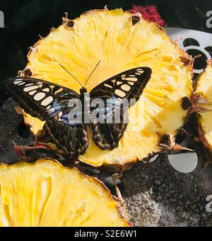 Butterfly on pineapple - Stock Image