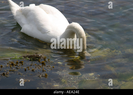 Mute swans Cygnus olor feeding at low water in fjord - Stock Image