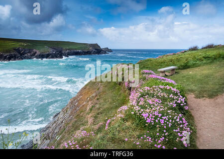 Sea thrift Armeria maritima growing on the coast of Polly Porth Joke in Newquay in Cornwall. - Stock Image