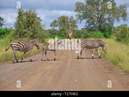 Family on Burchell Zebras, two adults on juvenile, crossing dirt road while a giraffe walks away in backgound - Stock Image