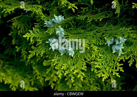 Chinese Arborvitae (Platycladus orientalis), twig with cones. - Stock Image