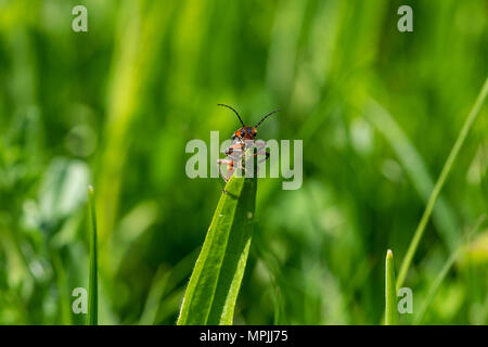 Soldier beetle (Cantharis) resting on the tip on a blade of grass - Stock Image