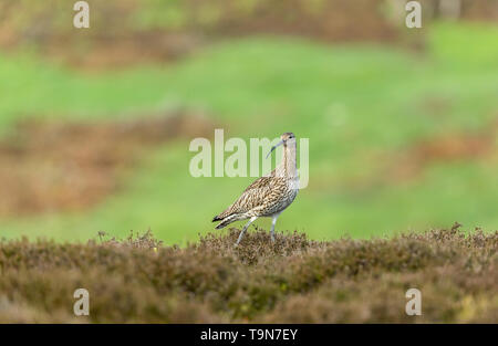 Curlew (Scientific name: Numenius arquata) Adult curlew in the Yorkshire Dales, UK during Springtime and the nesting season.  Landscape.Space for copy - Stock Image