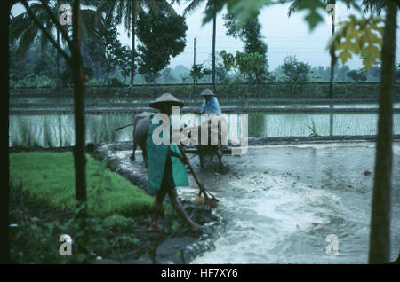 People working in the rice fields; near Yogjakarta, Java, Indonesia. - Stock Image