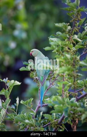 Parrot Green - Stock Image