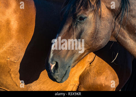 USA, California, Parkfield, V6 Ranch horse head and shadow against the side of another brown horse - Stock Image