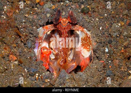 Spearing  Mantis Shrimp, Lysiosquillina lisa. Tulamben, Bali, Indonesia. - Stock Image