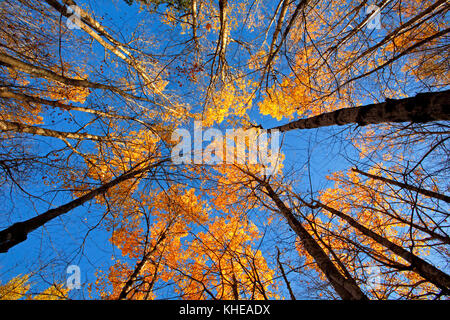 Converging verticals of trees with autumn colors and blue sky background. - Stock Image