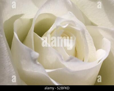 White rose flower. - Stock Image