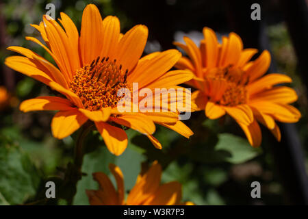 Yellow flowers of rough oxeye, smooth oxeye - Stock Image
