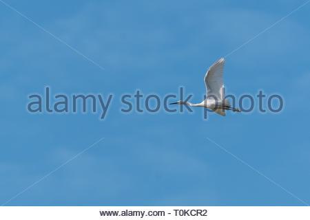 little egret (Egretta garzetta), taken at RSPB Bowers Marsh - Stock Image