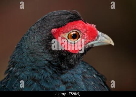 Salvadoris Pheasant (lophura inornata) - Stock Image