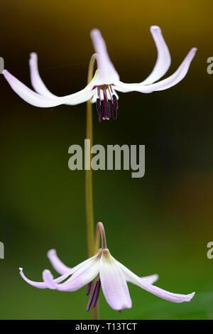 Erythronium Miss Jessop, E A Bowles hybrid,spring,flowers,flower,flowering,RM Floral - Stock Image