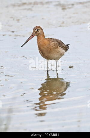 Black-tailed Godwit (Limosa limosa) adult feeding in shallow water  Cley Marshes Nature Reserve, Cley-next-the-Sea; Norfolk, UK          August - Stock Image