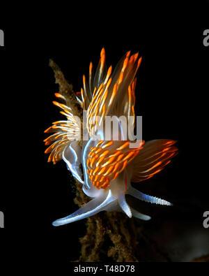 Hermissenda crassicornis - Stock Image