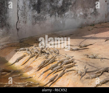 Baby crocodiles in a holding pen at a breeding facility in Cuba. - Stock Image