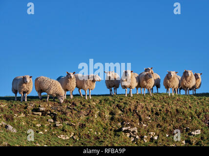 Flock of sheep. Peak District National Park, Derbyshire, England. - Stock Image