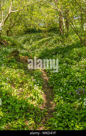 Woodland and Wild Garlic in Spring - Stock Image