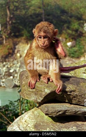 Young Rhesus Macaque Monkey MACACA MULATTA sitting on a rock by stream in Modi Khola valley near Naya Pul Nepal - Stock Image