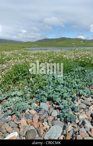 Oyster plant (Mertensia maritima) and sea campion (Silene maritima) on shingle beach at Urafirth, Shetland mainland. - Stock Image