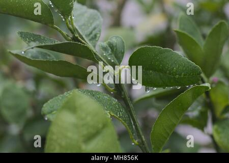 Leafy branch of a lemon citrus tree, with water droplets after a rainstorm. - Stock Image